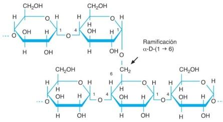 amilopectina-almidon