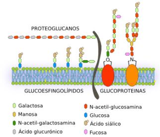 membrana-glucidos