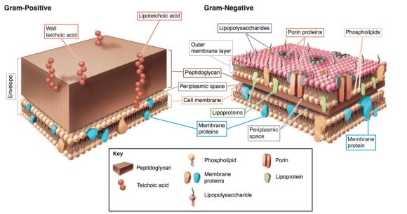 pared-bacteriana