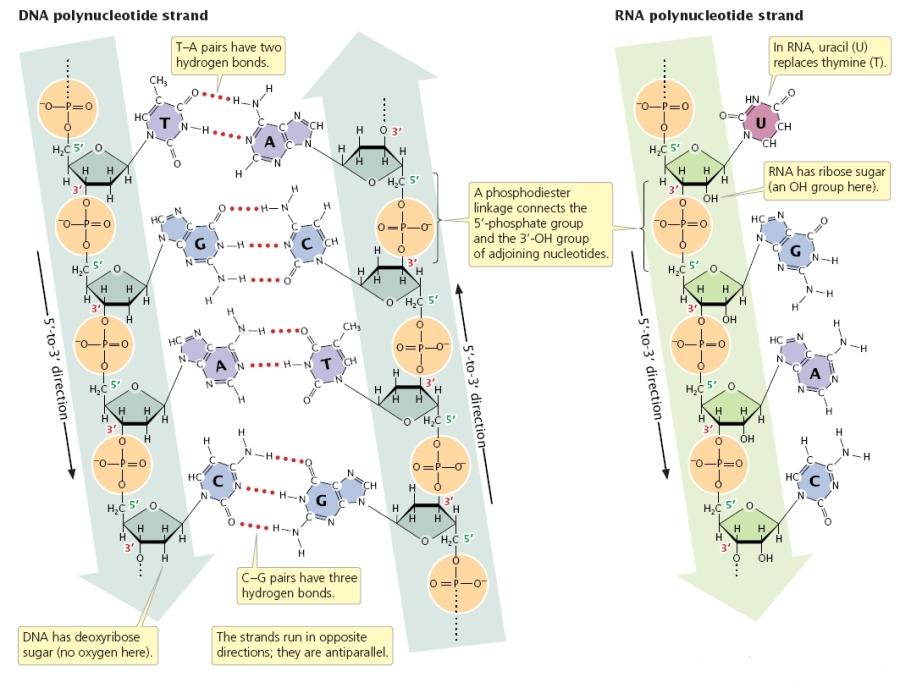 Estructura Y Tipos De Arn Lidia Con La Química