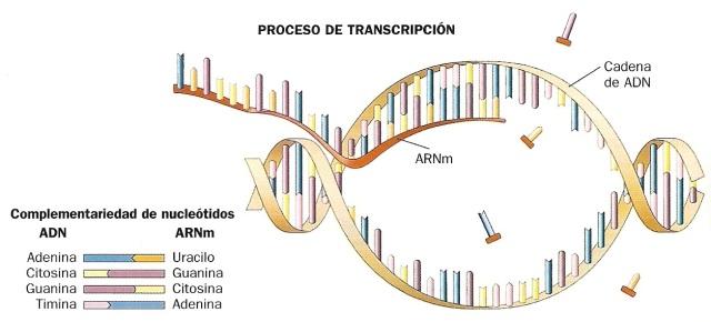 ARN-03-transcripcion