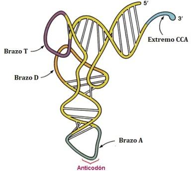 ARN-04-ARN-transferente