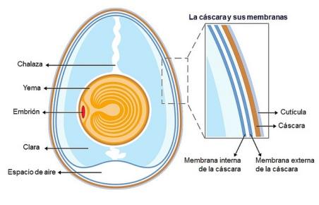 estructura-huevo