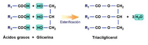 lipidos-11-esterificacion-acilgliceridos