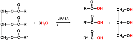 lipidos-14-trigliceridos-hidrolisis-lipasa