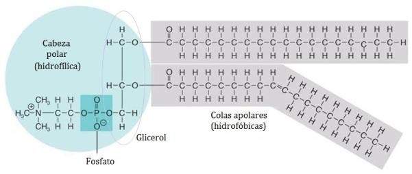 lipidos-18-fosfogliceridos