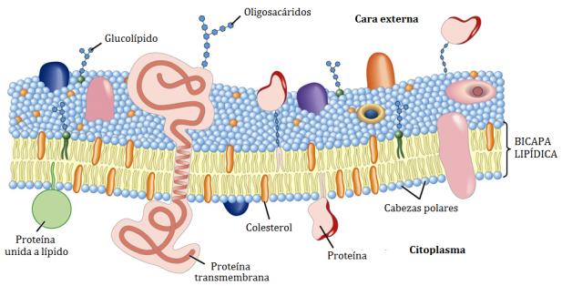 lipidos-20-membrana-plasmatica