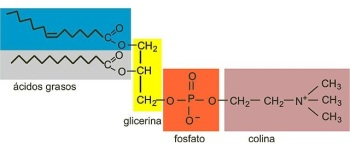 lipidos-22-fosfatidilcolina