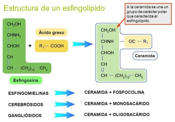lipidos-23-esfingolipidos