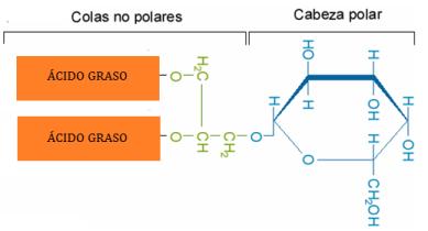 lipidos-23-gliceroglucolipidos