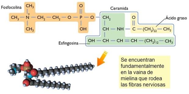 lipidos-24-esfingomielinas