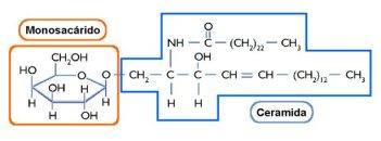 lipidos-25-cerebrosidos