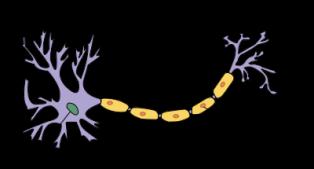 lipidos-25-vaina-mielina