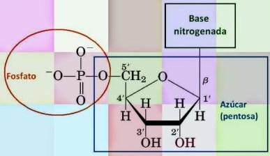 nucleotido-01-nucleotido-esquematico