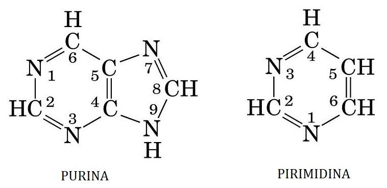 Los Nucleótidos Lidia Con La Química
