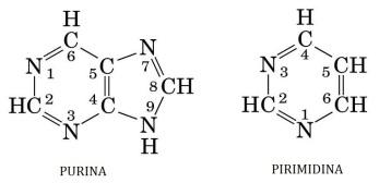 nucleotidos-02-bases-nitrogenadas