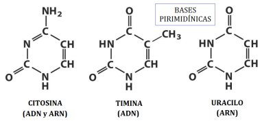 nucleotidos-04-citosina-timina-uracilo