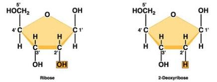nucleotidos-05-ribosa-desoxirribosa