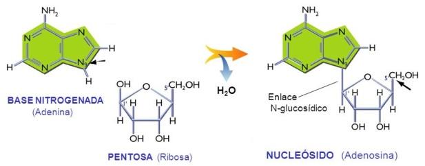 nucleotidos-06-enlace-n-glucosidico-nucleosido