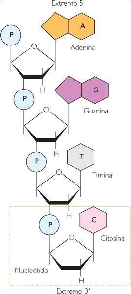 La Estructura Del Adn Lidia Con La Química