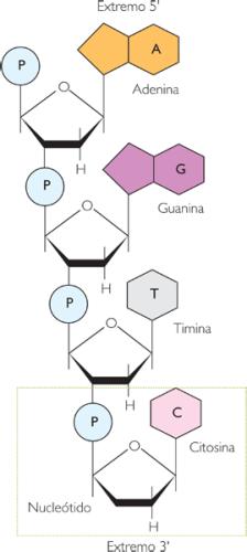 nucleotidos-08-estructura-primaria-adn