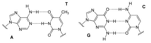 nucleotidos-10-complementareidad-antiparalela-adn