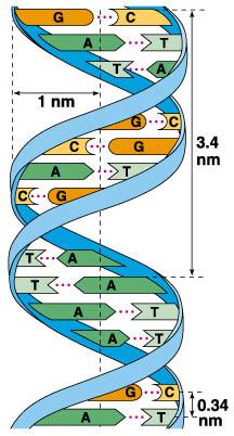 nucleotidos-ADN-estructura-doble-helice