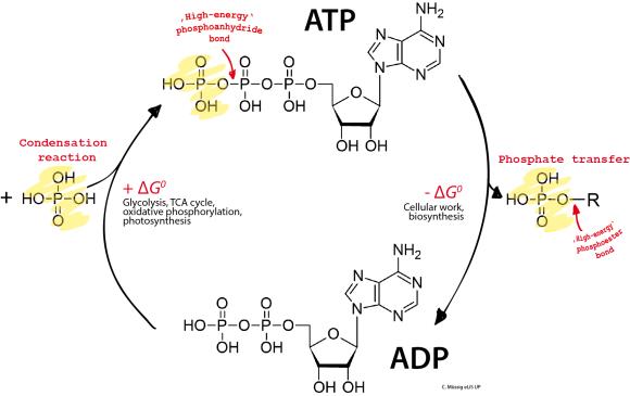 Nucleotidos-no-nucleicos-ADP-ATP
