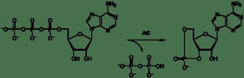 Nucleotidos-no-nucleicos-AMP-ciclico