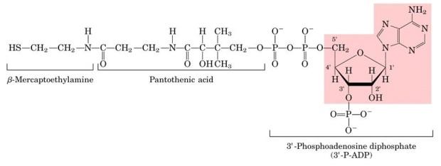Nucleotidos-no-nucleicos-Coenzima-A