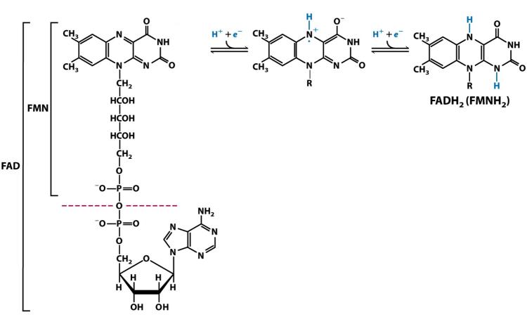 Nucleotidos-no-nucleicos-FMN-FAD