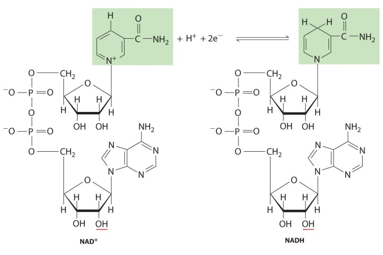 Nucleotidos-no-nucleicos-NAD-NADH
