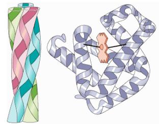 proteinas-01-fibrosas-globulares