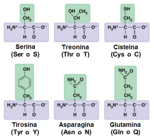 proteinas-06-aminoacidos-polares-sin-carga