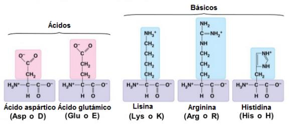 proteinas-07-aminoacidos-polares-carga