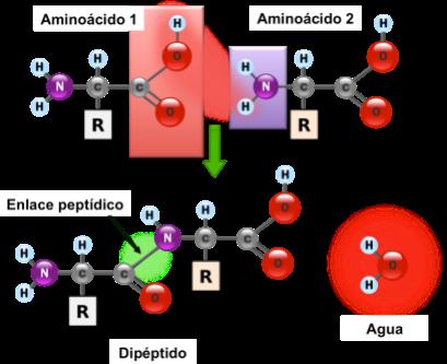proteinas-08-enlace-peptidico