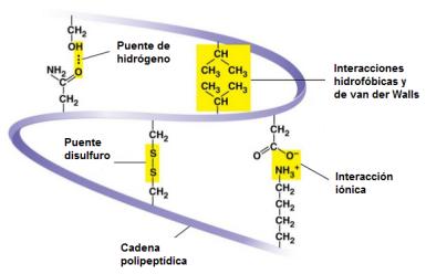 proteinas-17-estructura-terciaria-enlaces