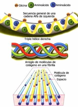 proteinas-22-colageno