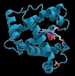 proteinas-28-mioglobina