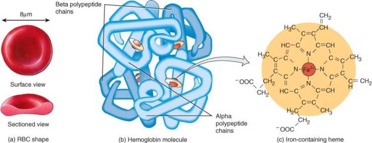 proteinas-30-hemoglobina