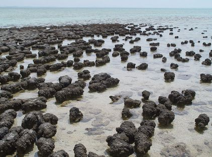 800px-Stromatolites_in_Sharkbay